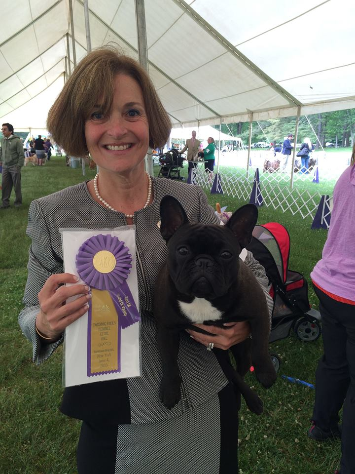 Local woman's French bulldog competing in Westminster dog show | Spring Hill, Westminster, Westminster Kennel Club, Cruft's, England, dog show, French bulldog, Jafrak Persuade Me Not, Jafrak
